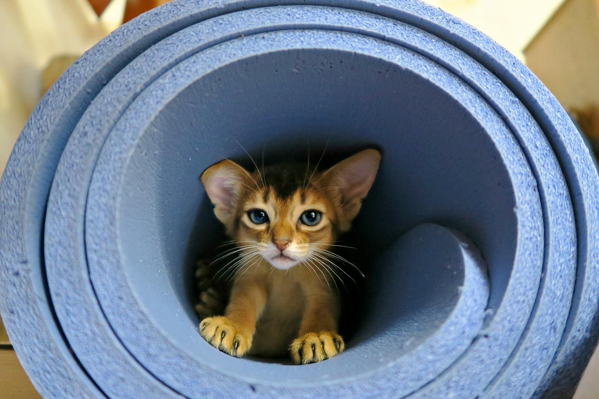 Abessijn kittens