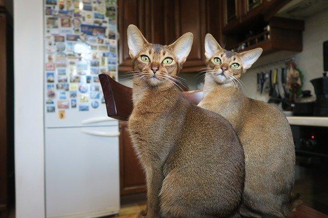 Abessijn kattenras