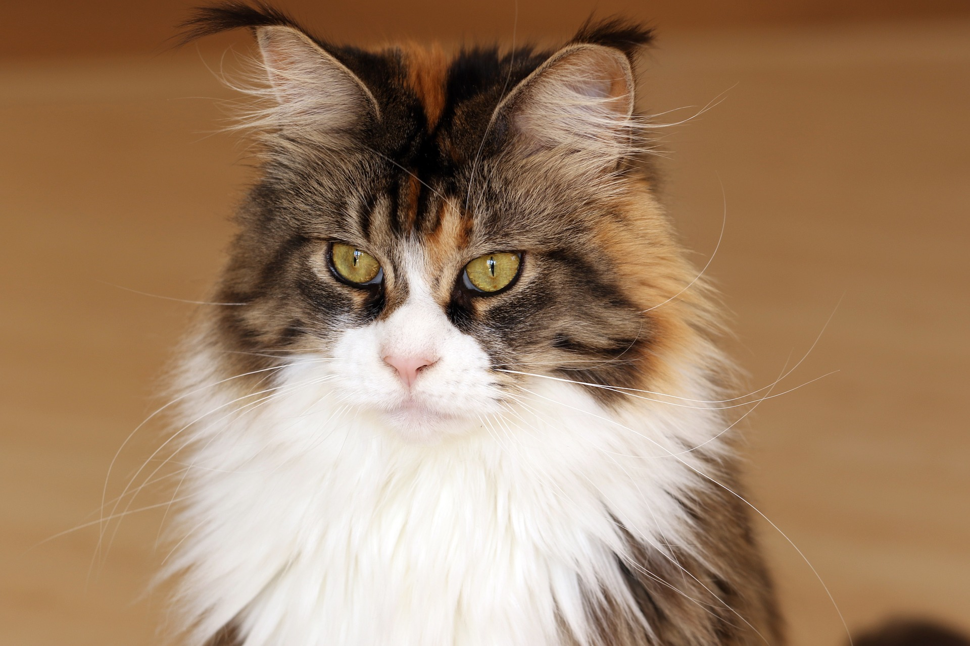 Maine Coon zijn bekende kattenrassen