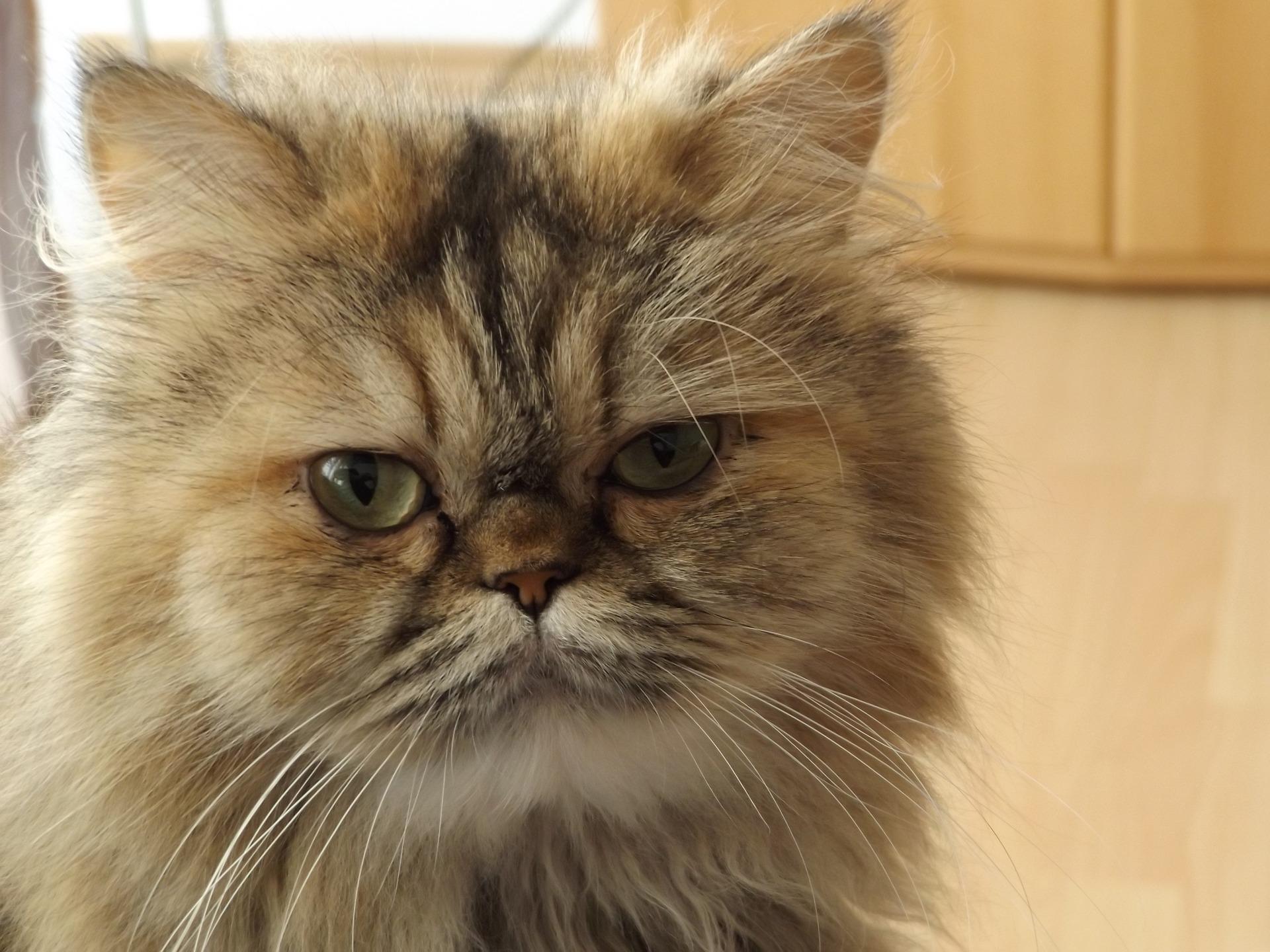 Perzische kat zijn bekende kattenrassen