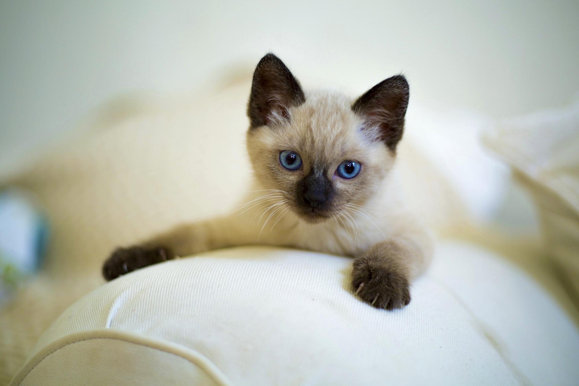 Siamees zijn bekende kattenrassen
