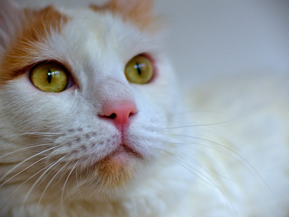 Turkse Van kat