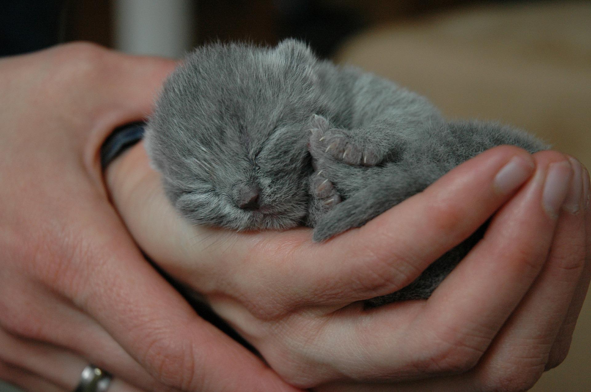 brits korthaar kitten