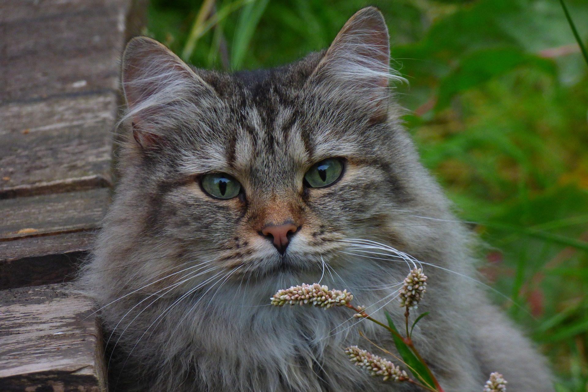 Noorse Boskat wat moet je weten over dit kattenras
