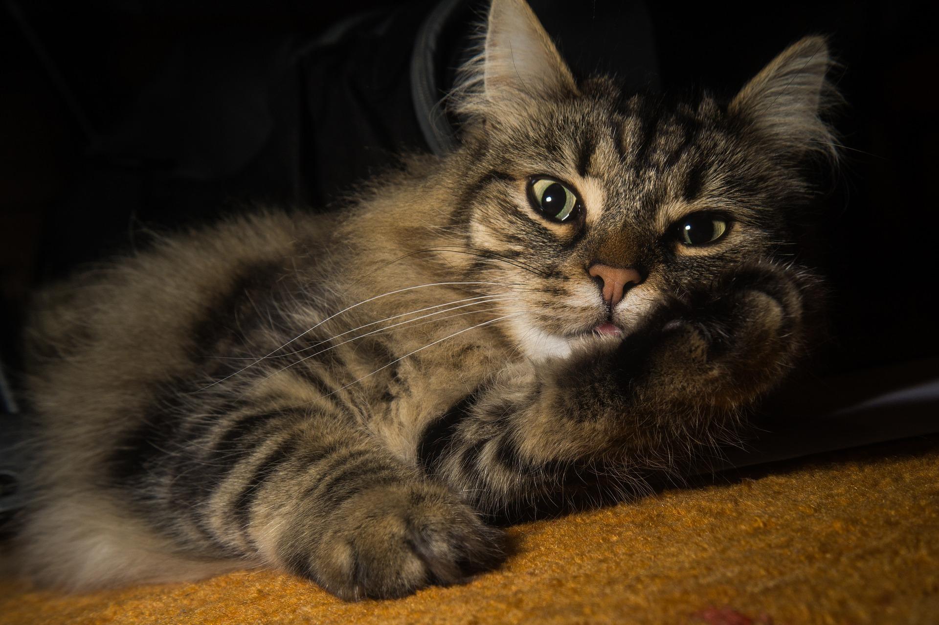 noorse boskat kittens