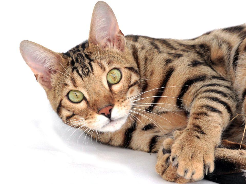 toyger alle kattenrassen