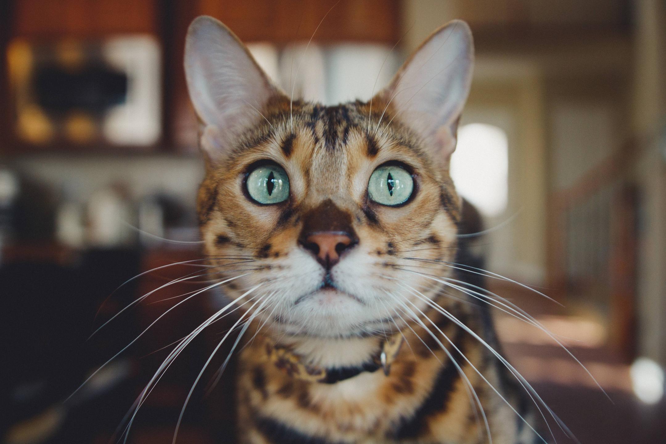 toyger kattenras