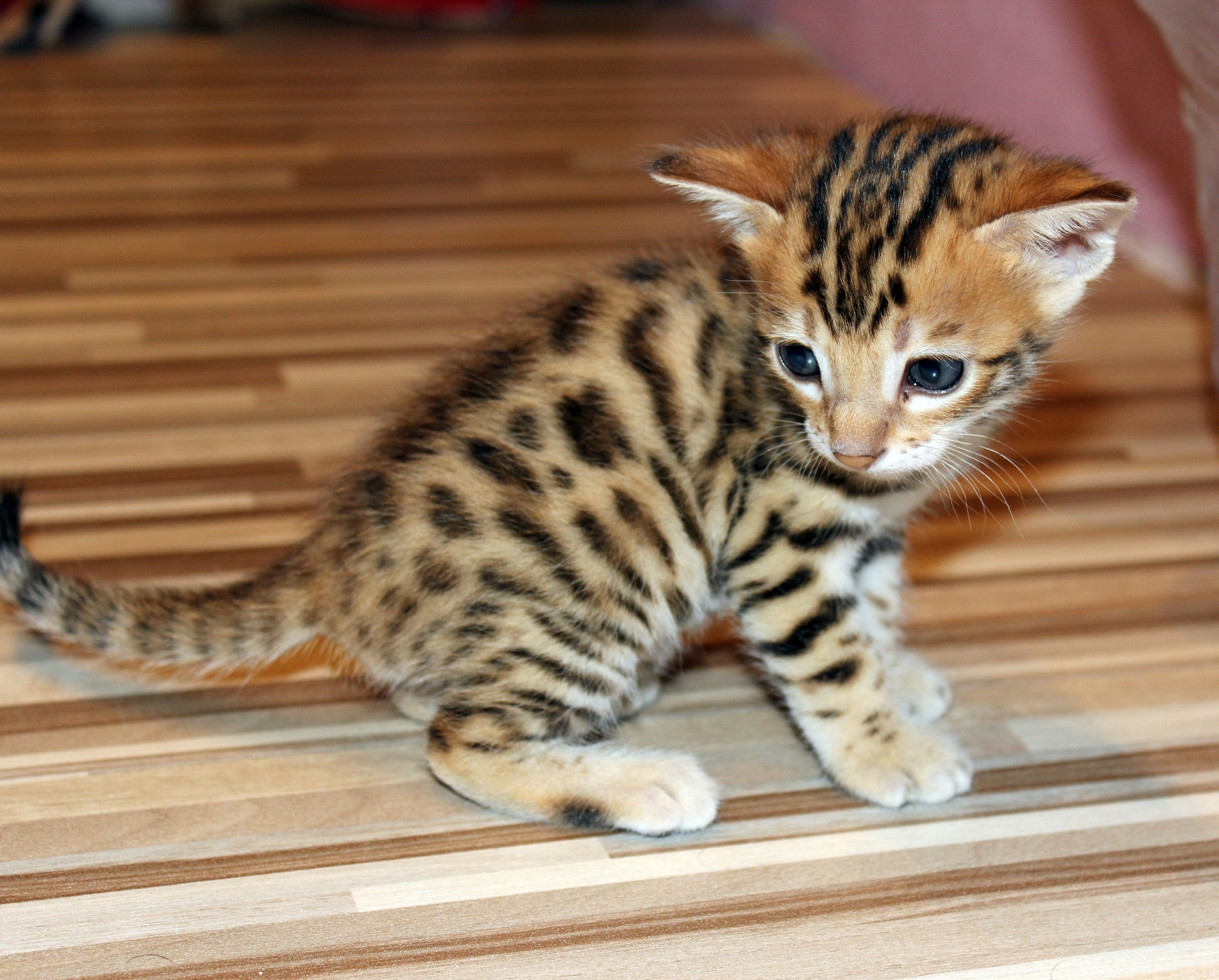 toyger kitten alle kattenrassen