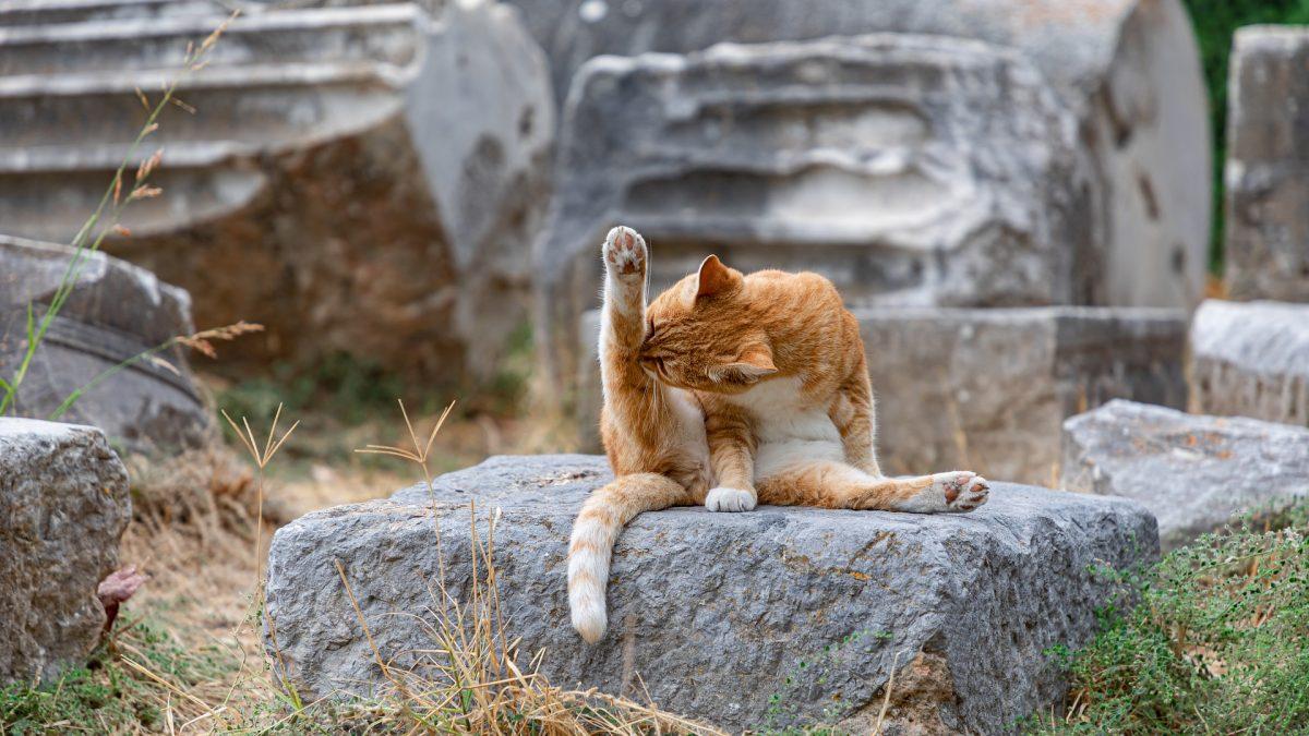 Vachtverzorging bij de kat