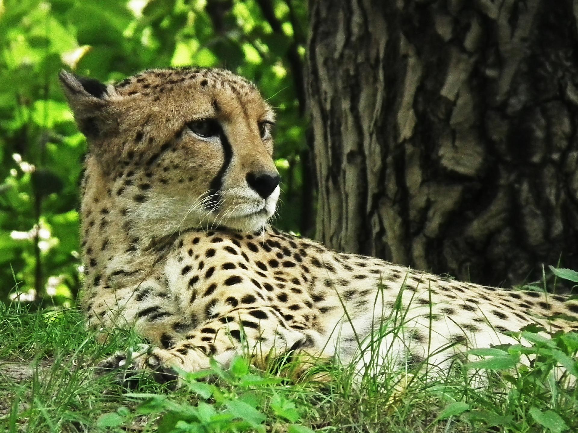 Cheetah - Geschiedenis van de kat
