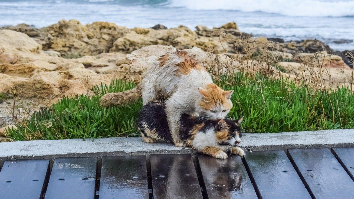 De paring bij katten
