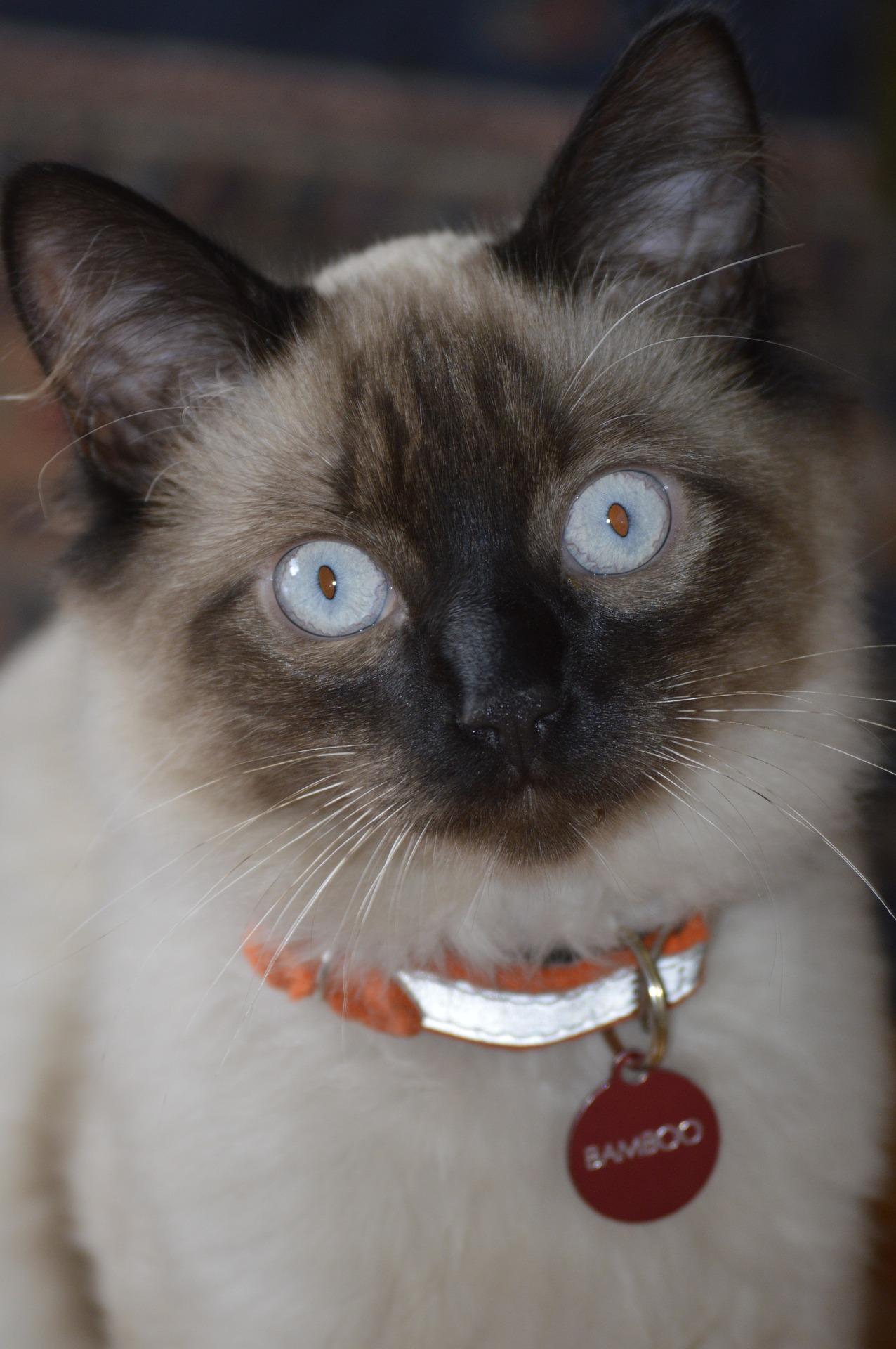 Balinees kitten