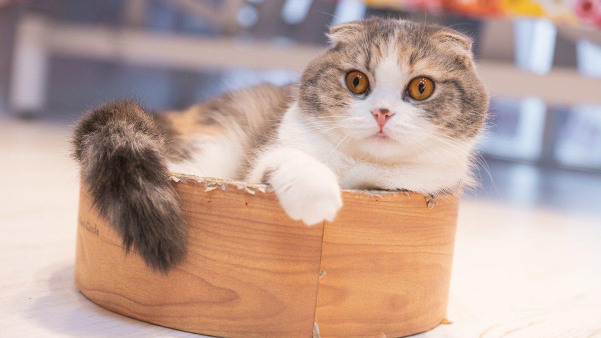 Schotse vouwoorkat - Scottish Fold kat