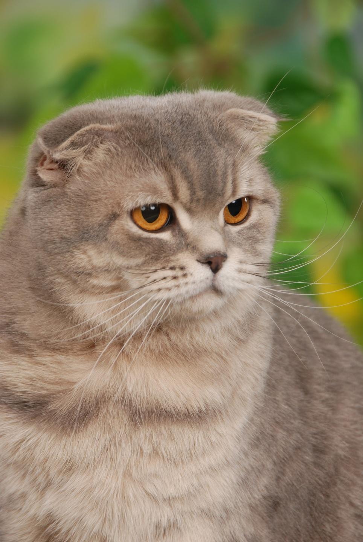 Schotse vouwoorkat zijn bekende kattenrassen