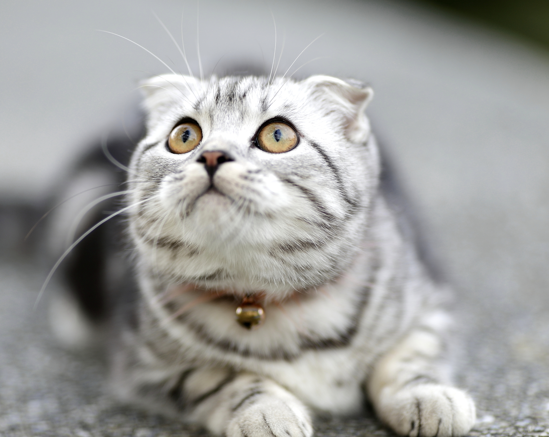 Scottish Fold kat