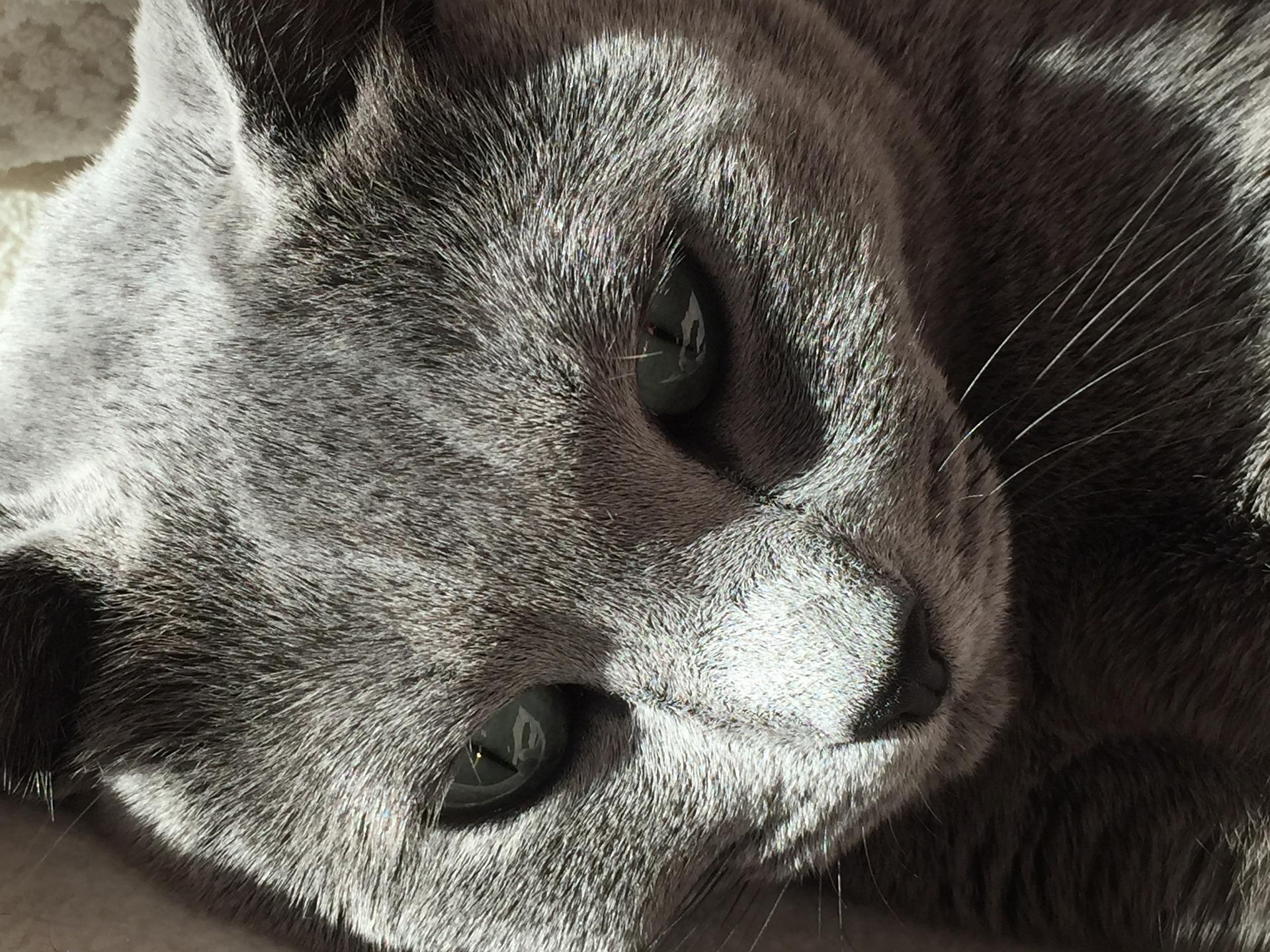 Blauwe Rus zijn bekende kattenrassen