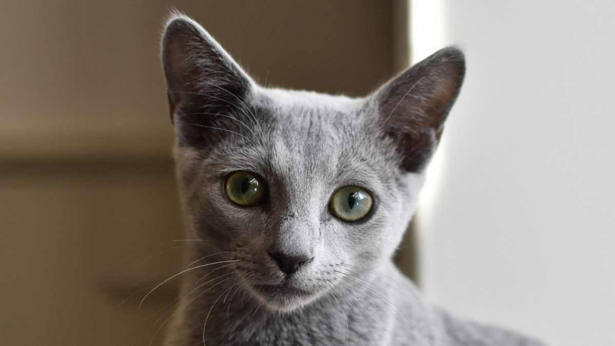 blauwe rus kat