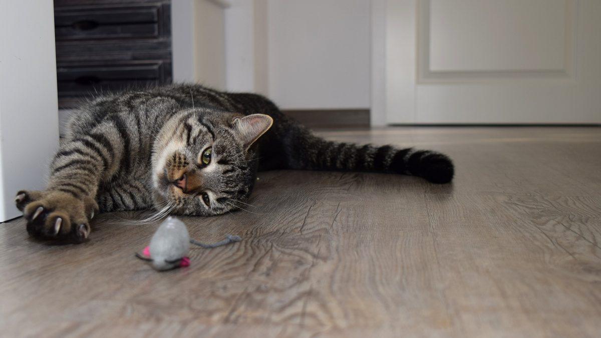 hoe slim zijn katten doe de iq test