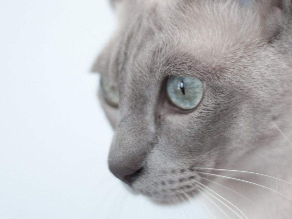 tonkanees kitten