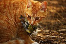 Waarom brengen katten vogels en muizen naar huis