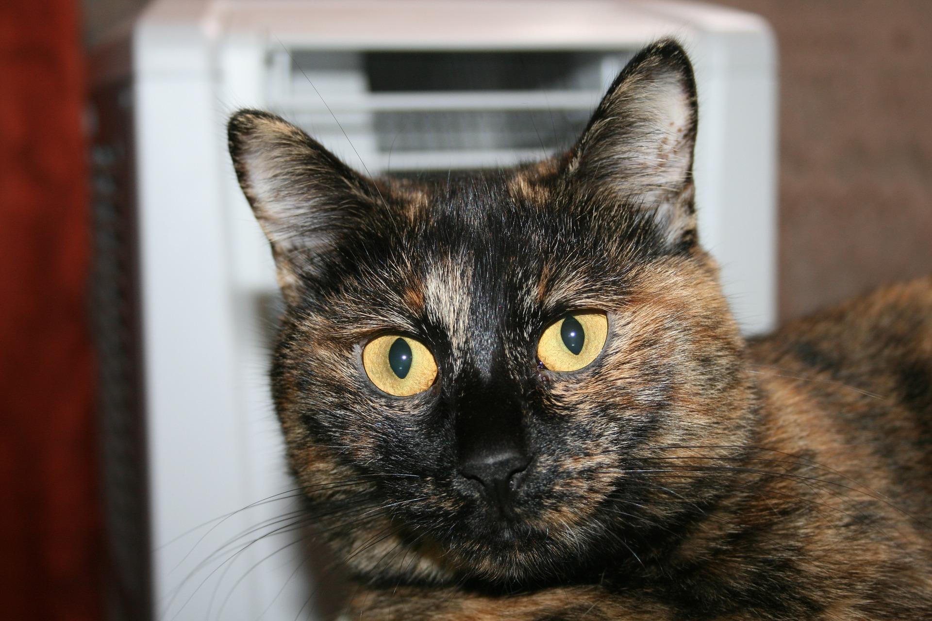 Amerikaanse Bobtail kat