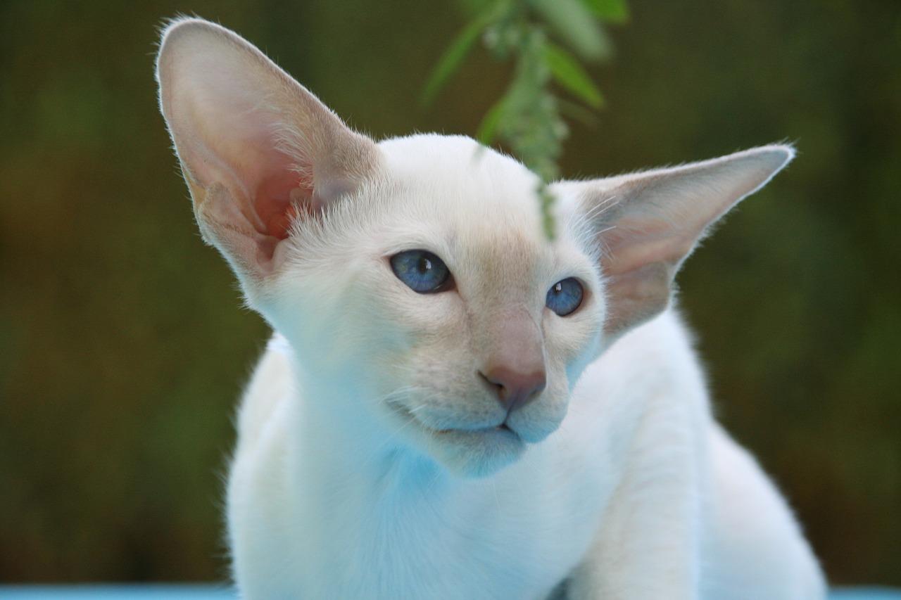 Foreign White kat